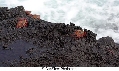 Galapagos Sally Lightfoot Crab - Sit In Front of Surf..
