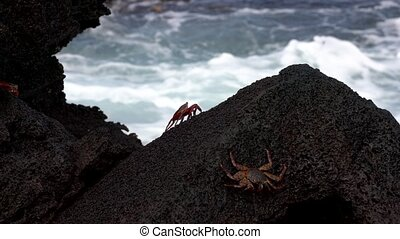 Galapagos Sally Lightfoot Crab - Sit On Steep Rock In Front of Surf..