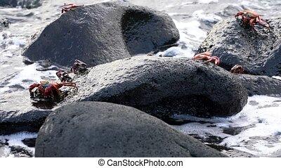 Galapagos Sally Lightfoot Crab - Surf Covers Several..