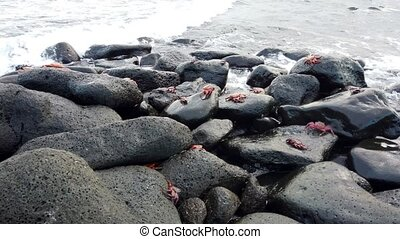 Galapagos Sally Lightfoot Crab - Wide Shot or Crabs On Rocks..