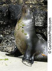 Galapagos Sea Lion - A sea lion at the galapagos island