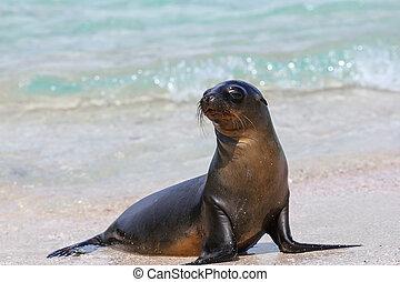 Galapagos sea lion at the beach on Espanola Island,...