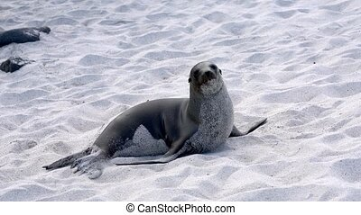 Galapagos sea lion lies in the sand while watching camera