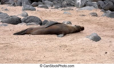 Galapagos sea lion lies on sand and waves his flipper.