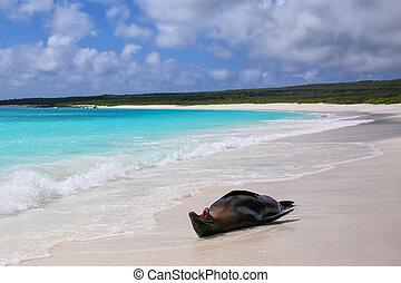 Galapagos sea lion lying on the beach at Gardner Bay,...