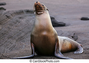 Galapagos sea lion on Santiago Island in Galapagos National Park, Ecuador