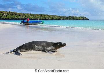 Galapagos sea lion on the beach at Gardner Bay, Espanola...