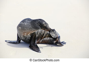 Galapagos sea lion on the beach on Espanola Island,...