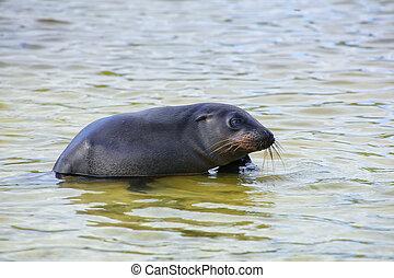 Galapagos sea lion playing at Gardner Bay, Espanola Island,...