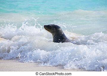 Galapagos sea lion playing at Gardner Bay on Espanola...