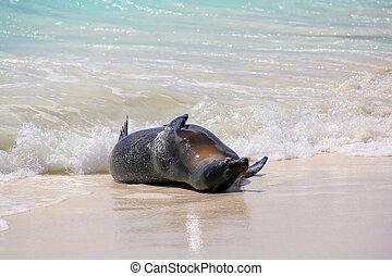 Galapagos sea lion playing in water at Gardner Bay, Espanola...