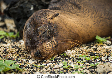 Galapagos sea lion pup sleeping on shingle
