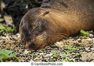 Galapagos sea lion pup sleeping on shingle