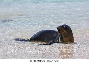 Galapagos sea lion resting at the beach on Espanola Island,...