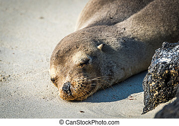 Galapagos sea lion sleeping on white beach