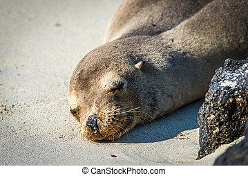 Galapagos sea lion sleeping on white beach