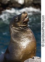 Galapagos Sea Lion - South Plaza Island - Galapagos Islands