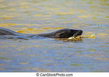 Galapagos sea lion swimming Gardner Bay, Espanola Island,...