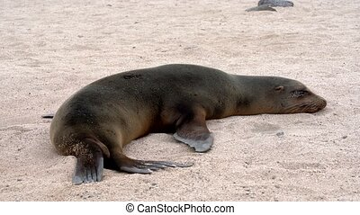 Galapagos sea lion twitches while trying to sleep on sand.