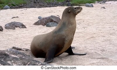 Galapagos sea lion walks from frame.