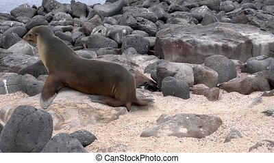 Galapagos sea lion watches camera then walks to the ocean.