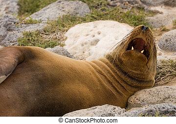 Galapagos sea lion (Zalophus wollebaeki) - Galapagos sea...