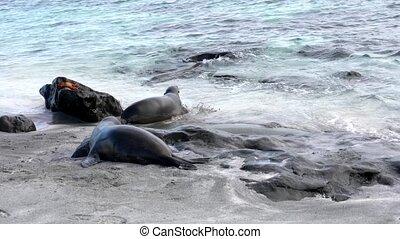 Galapagos sea lions enter the ocean.