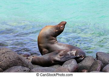 Galapagos sea lions lying on rocks at Suarez Point, Espanola...