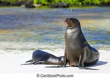 Galapagos sea lions on the beach at Gardner Bay, Espanola...