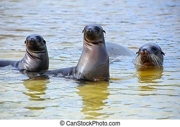 Galapagos sea lions playing in water at Gardner Bay,...