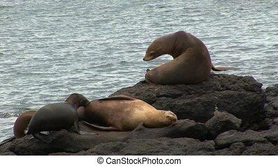 Galapagos seal on rocks coast. Cute mammals animals.