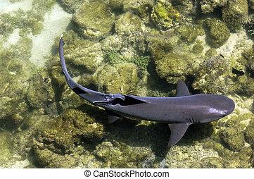 Galapagos Shark - A white tip shark at the galapagos