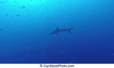 Galapagos shark - Beautiful full HD footage of a Galapagos...