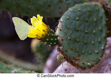 Galapagos Sulphur Butterfly on a cactus flower