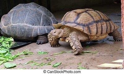 Galapagos tortoise. Big turtle.