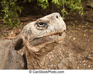 Galapagos Tortoise on Isabel Island - A portrait of a giant...