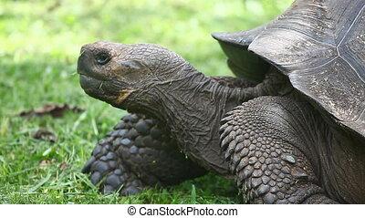 Galapagos Tortoise, side view - Galapagos Tortoise,...