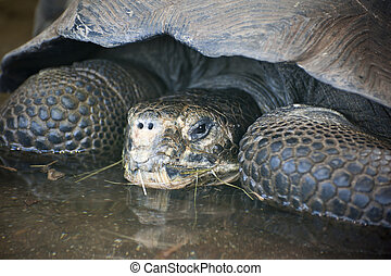 Galapagos Turtle Chelonoidis Nigra