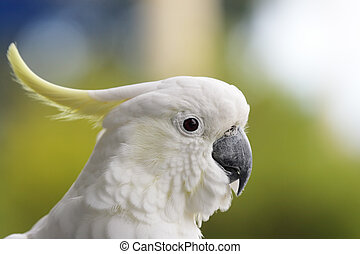 galerita), (cacatua, schwefel-crested kakadu