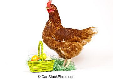 galinha, em, estúdio