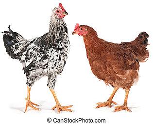 galinha, jovem, galo
