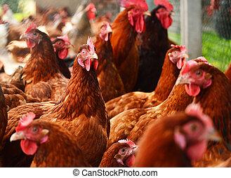 galinhas, ligado, tradicional, alcance livre, aves...