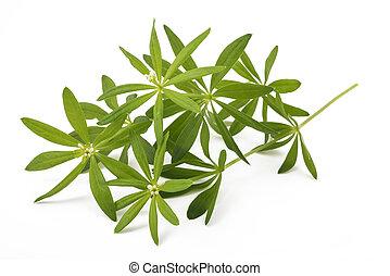 (galium, odoratum), woodruff