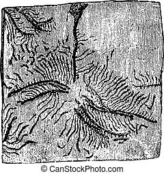 Galleries Tomicus chalcographus on the spruce bark, vintage engraving.