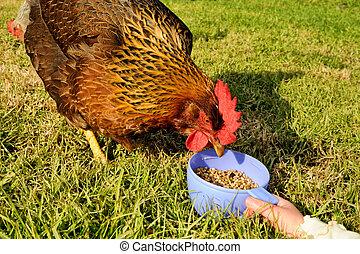 gallina, alimentación, taza