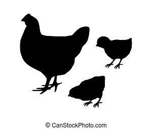 gallina, e, pulcini