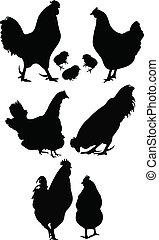 gallina, gallo, uccello, pollo