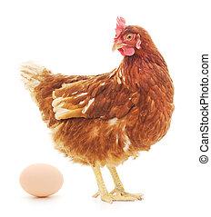 gallina, huevo