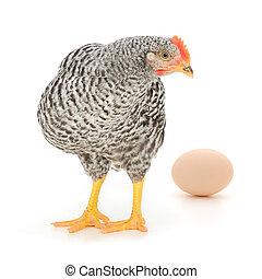 gallina, huevo, gris