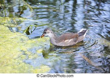 Gallinula chloropus in lake - Shot of Gallinula chloropus...